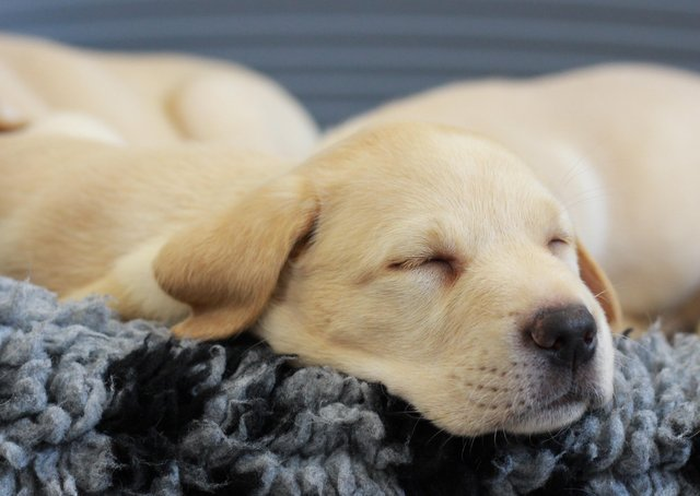 A guide dog pup enjoys a snooze - 10 homes in the Melton area are being sought to bring up pups in their first year of life EMN-210323-085505001