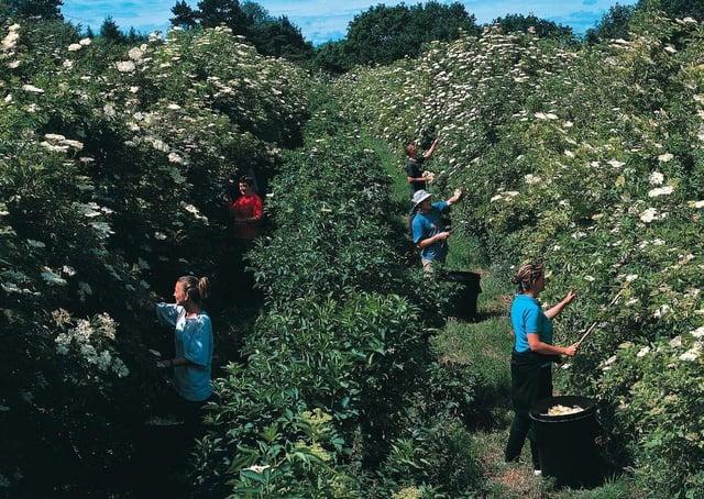 Pickers bring in the elderflowers for Belvoir Fruit Farms EMN-200206-095152001