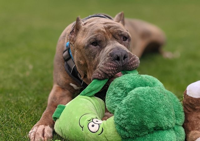 Nuke, a terminally ill American bulldog, who needs a foster home to live out his final days in a loving household EMN-210426-120023001